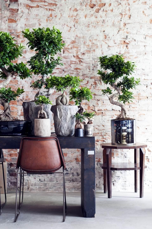 S'entourer de belles plantes : le Ficus Ginseng