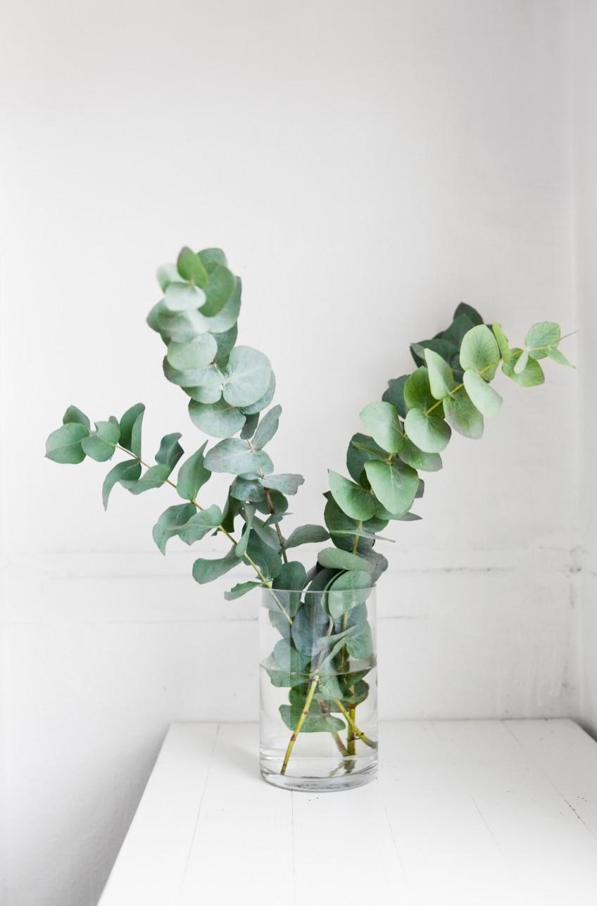 S'entourer de belles plantes : l'Eucalyptus