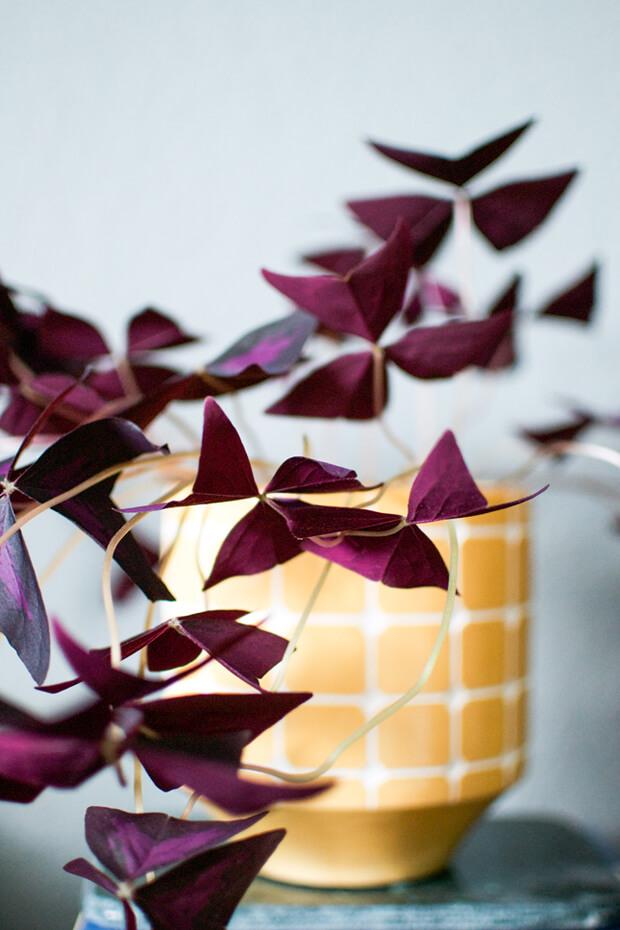 S'entourer de belles plantes : l'Oxalis pourpre