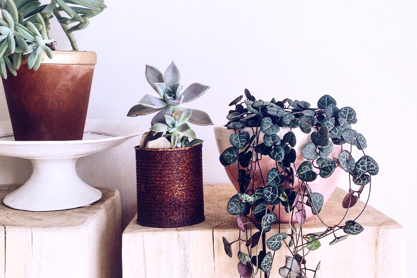 S'entourer de belles plantes : le Ceropegia woodii - FrenchyFancy