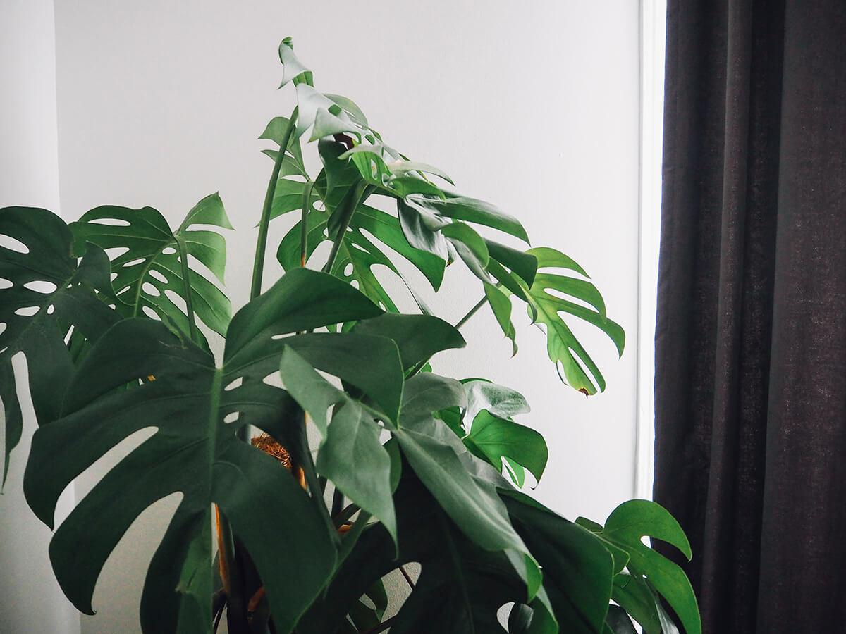 Plante verte Monstera