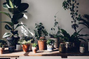 S'entourer de belles plantes : le Caoutchouc - FrenchyFancy