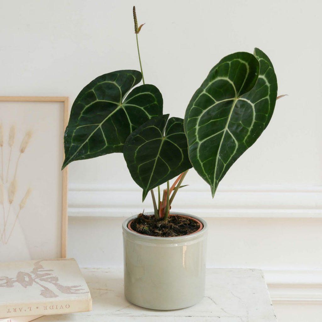 Plante verte déco Anthurium clarinervium
