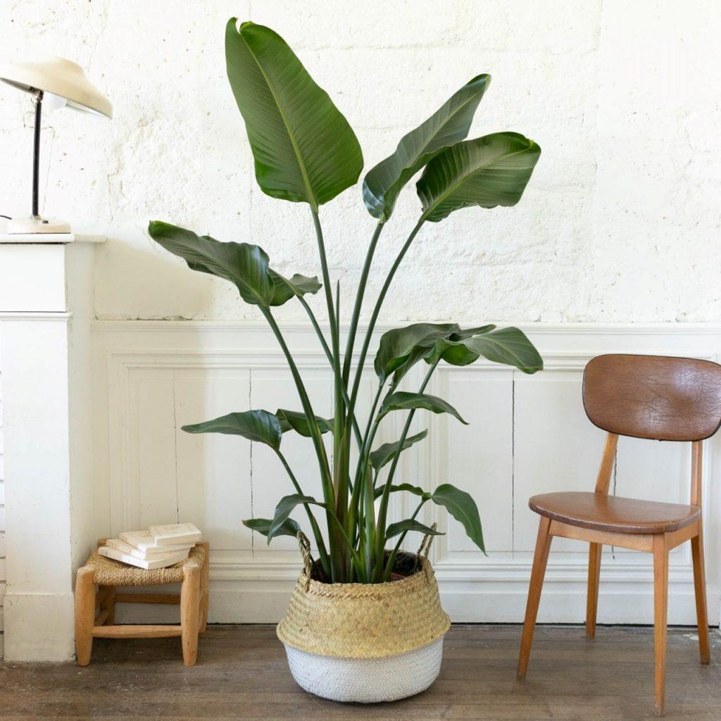 Plante verte déco Strelitzia nicolai